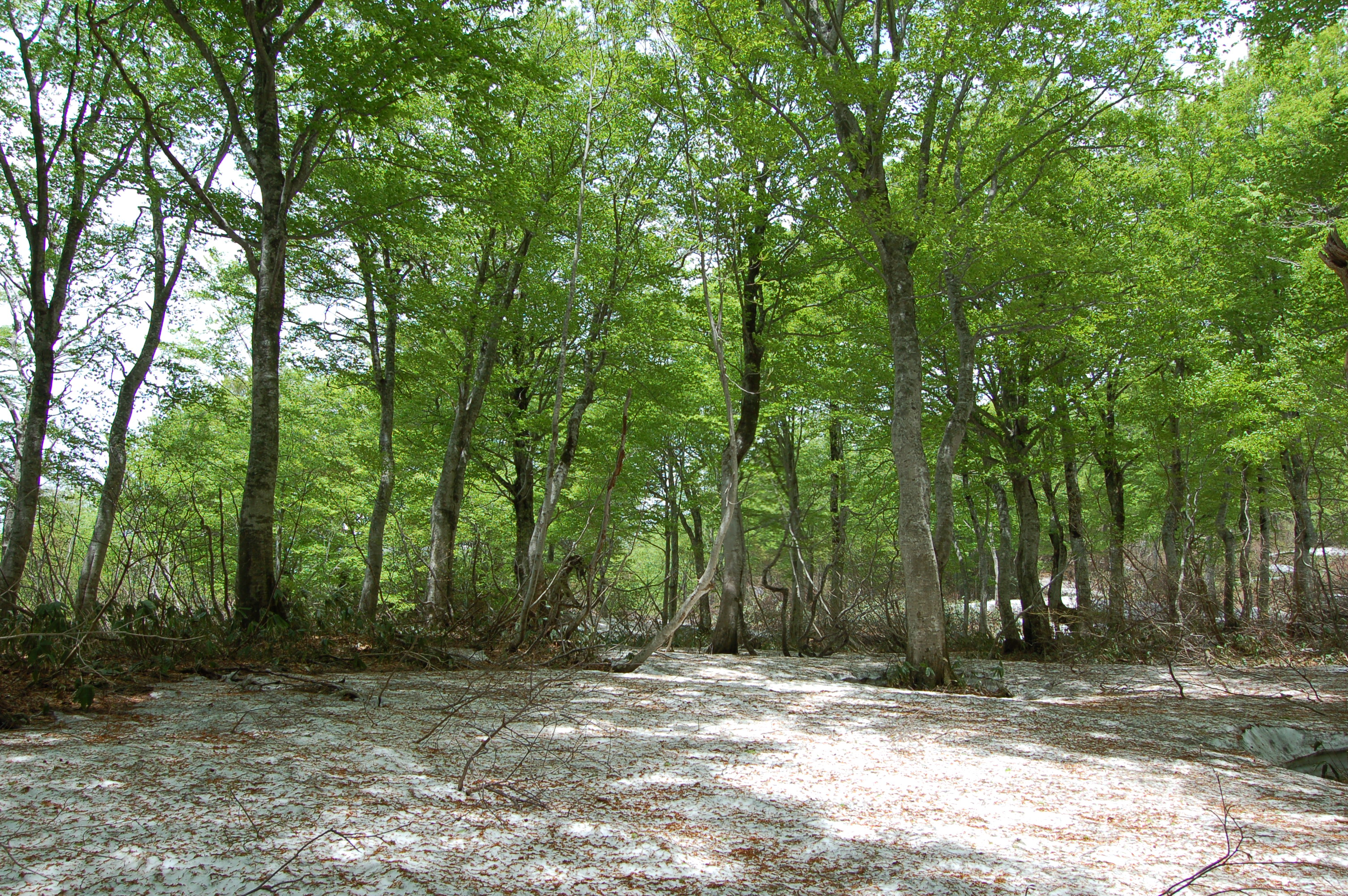 名峰「月山」に広がるブナの原生林